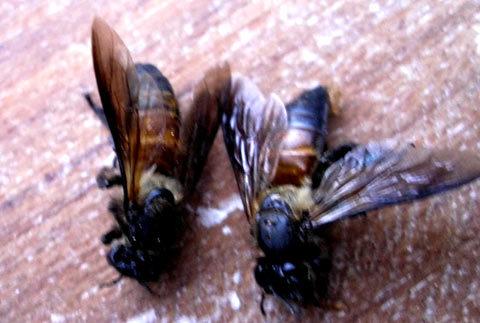 Hai con ong người dân bắt được từ đàn ong và cho rằng đó là ong vò vẽ. Ảnh: Tá Lâm.