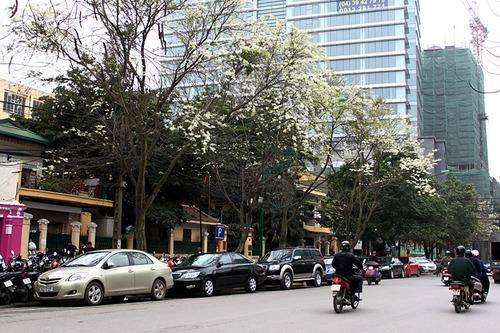 Những cây sưa trắng trên đường Trần Hưng Đạo.