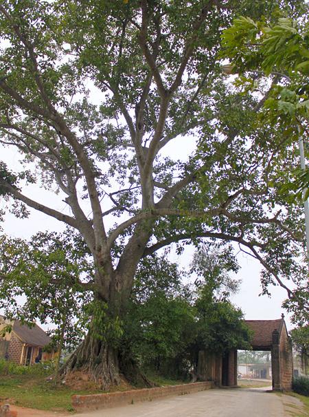 Cổng làng Đường Lâm với cây đa to lớn. Ảnh: Linh Linh.