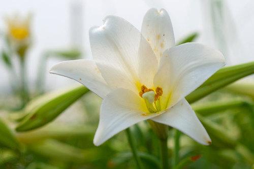 Loa kèn không mang vẻ đẹp quý phái hay sặc sỡ mà loài hoa này khiến nhiều người yêu thích vì mùi hương dịu nhẹ và màu trắng tinh khôi.