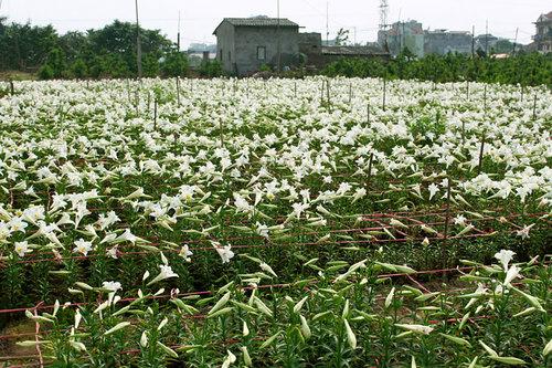 Không chỉ trồng hoa để bán, người dân Quảng Bá còn dành những mảnh ruộng loa kèn nở trắng để khách du lịch chụp ảnh với phí là 10.000 đồng mỗi người.