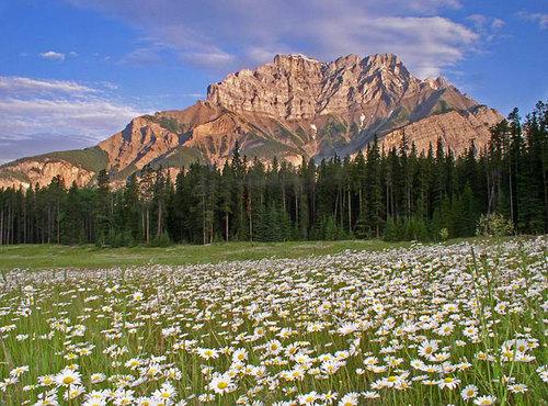 Thảm hoa cúc trắng nở giữa những thung lũng trong công viên quốc gia Whiteshell.