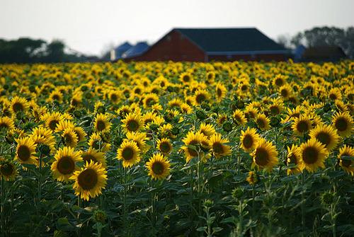Hướng dương nở vàng trên những cánh đồng ở bang Saskatchewan, miền Tây Canada.