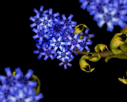 Hoa đinh hương xanh.