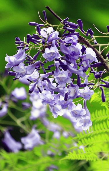 Phượng tím bung những cánh hoa nhỏ, tạo một không gian thơ mộng, đầy chất lãng mạn nhưng lại man mác buồn. Loài cây này nở rộ nhất vào tháng 4.