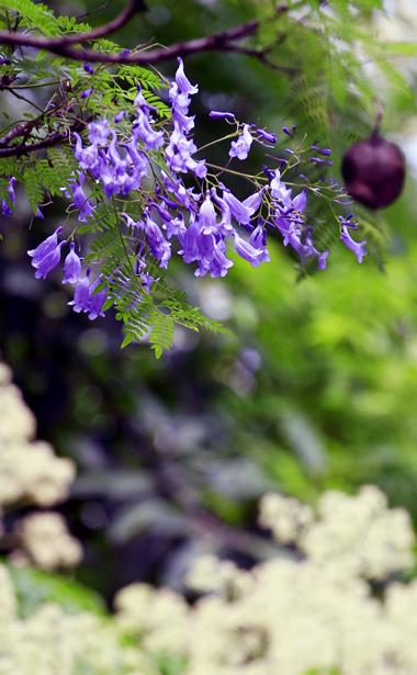 Kết thành chùm, đua sắc cùng những loài hoa khác.