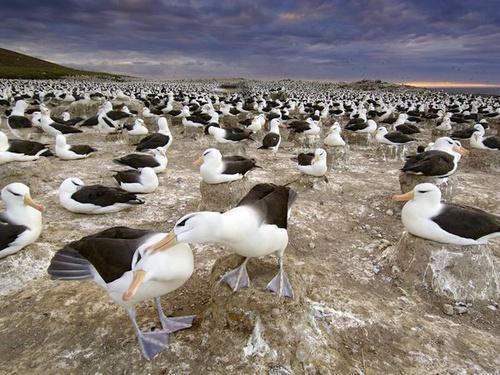 Quần đảo Falkland nằm ở Nam Đại Tây Dương là nơi trú ngụ của hàng nhìn chú chim hải âu nên còn được gọi là Vương quốc của hải âu.