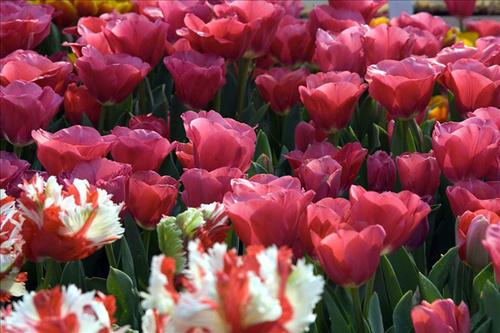 Nói đến Amsterdam, Hà Lan, mọi người không thể bỏ qua 'đặc sản' tuyệt đẹp của nơi này, đó là hoa.
