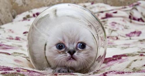 Chú mèo nhỏ Houdin thường chui vào lọ và không chịu ra. Ảnh: KNS News.