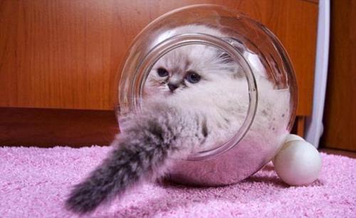 Hai chú mèo chỉ thích chui vào những lọ thủy tinh nhỏ. Ảnh: KNS News.