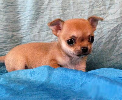 """Khi cún Chihuahua """"Cosplay"""" thành Siêu Nhân"""