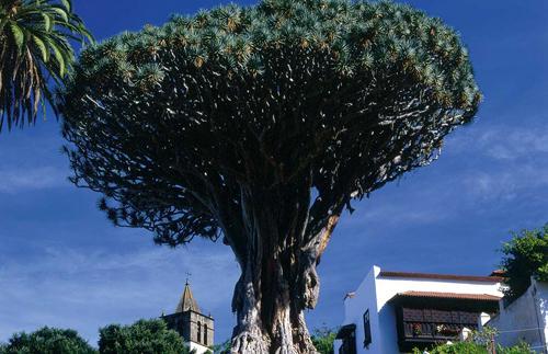 Biểu tượng của Tenerife là cây Rồng, một loại lá kim, cao lớn có tán lá vươn rộng. Cây Rồng lớn nhất trên đảo có tuổi thọ hơn 600 năm.