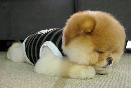 Theo chủ facebook Lee, cún Boo làm tất cả những việc mà nó yêu thích như dạo chơi, chơi đùa cùng bạn bè, khám phá thế giới xung quanh.