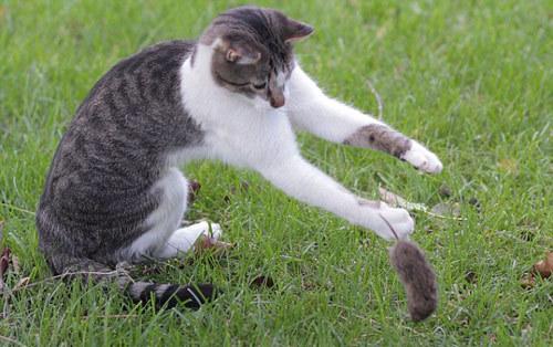 Nạn nhân của chú mèo