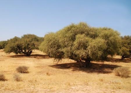 Cây Argan mọc ở vùng đất khô cằn, khắc nghiệt ở Ma Rốc.