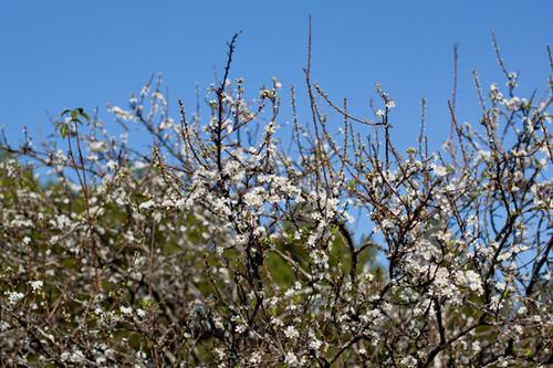 Hoa mận khi đã nở là sẽ đồng loạt bung hoa.