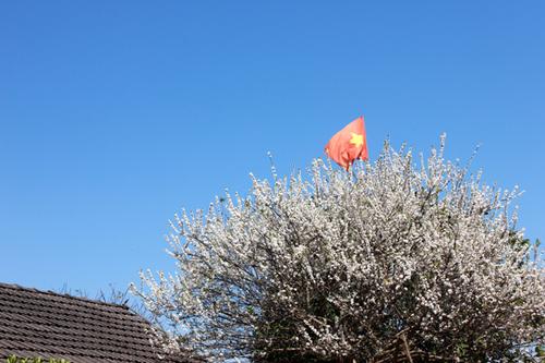Nhân dịp Tết, nhiều gia đình ở Mộc Châu treo cờ Tổ quốc trên ngọn cây mận trước nhà.