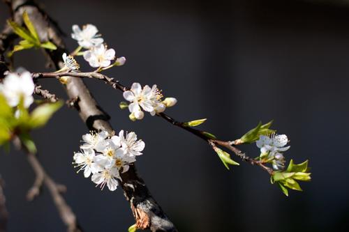 Nơi có nhiều hoa mận nhất ở Mộc Châu là trong khu vực rừng thông bản Áng và đường lên cửa khẩu Lóng Sập, cách trung tâm thị trấn Mộc Châu khoảng 30 km.