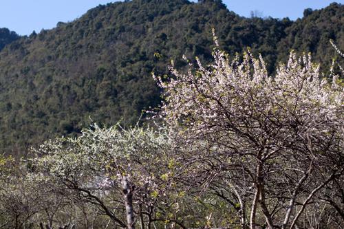 Vẻ đẹp của những quả đồi mận trắng là điểm thu hút khách tới Mộc Châu vào dịp đầu năm mới.