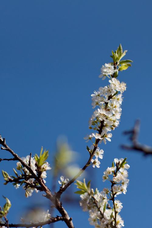 Hoa mận đẹp nhất khi được khoe sắc dưới nắng.