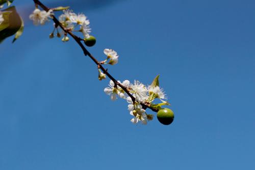 Một số cây mận nở sớm đã có quả.