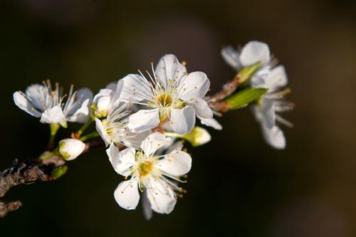 Mùa hoa mận ở Mộc Châu chỉ kéo dài từ 2 đến 3 tuần lễ.