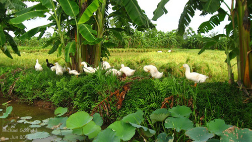 Đàn vịt béo tròn đi ăn mót những hạt lúa còn rơi vãi sau vụ gặt:.