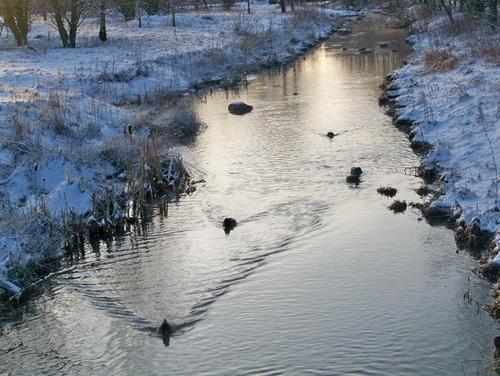 Đàn vịt vẫn bơi lội tung tăng trong nước lạnh.
