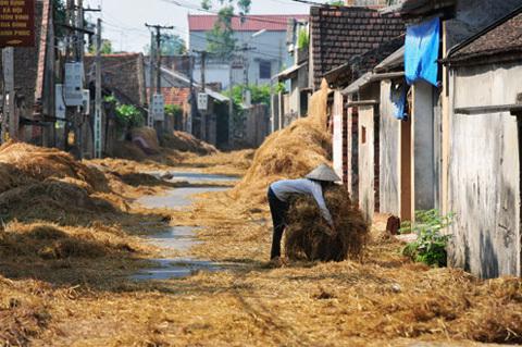 Vào Mùa Gặt, Những Con Đường Làng Trải Ngập Rơm Rạ. Ảnh: Hoàng Hà.
