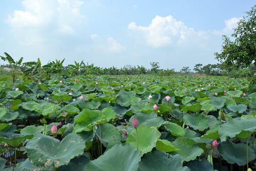 Khu vực huyện Thuận Thành và Lương Tài thuộc tình Bắc Ninh là nơi được cho là nơi có thể tìm thấy hoa sen Tịnh Đế Liên, tuy nhiên cũng đã có người chụp đc sen đôi Tịnh Đế tại hồ sen Tây Hồ.