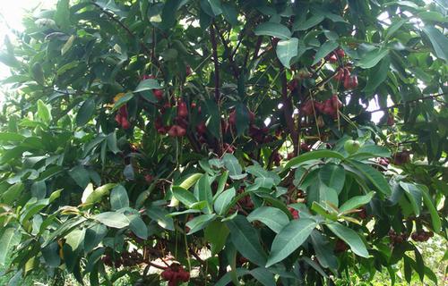 Những vườn cây trái xanh trĩu quả.