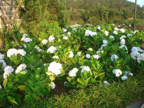 Những bụi hoa cẩm tú cầu được trồng ven lối đi.