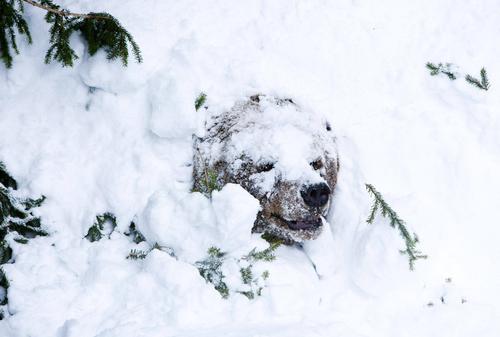 Chú gấu Palle-Jooseppi tỉnh giấc sau một kỳ ngủ đông dài tại vườn thú Ranua ở Phần Lan.
