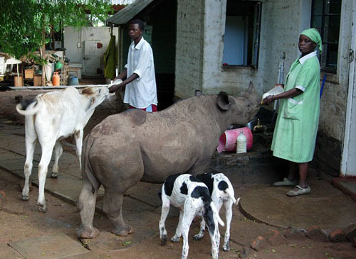 This is the rare site of a rhinoceros receiving milk from the hand of a worker at the guesthouse, next to a goat and a couple of curious dogs