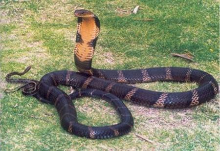 Hổ chúa, chúa tể của các loài rắn. Ảnh: Nông nghiệp Việt Nam.
