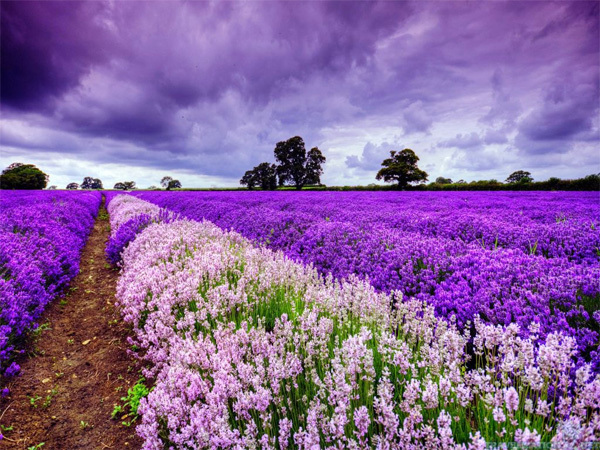 Cánh đồng hoa Provence (Pháp)