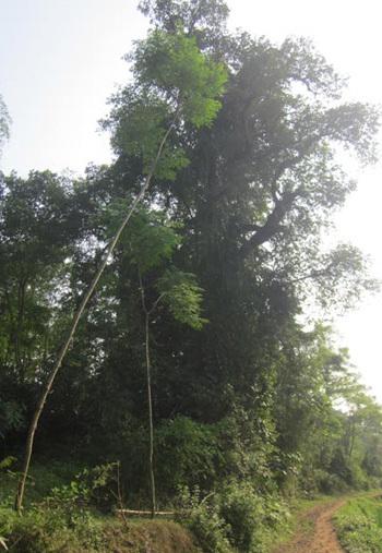 Một trong hai cây thị cổ thụ ở đồi Cây thị.
