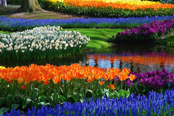Đến Hà Lan trong khoảng từ tháng 3 đến tháng 5, bạn sẽ dễ dàng bắt gặp những vườn hoa tulip nở rộ khắp nơi ở thủ đô Amsterdam. Nhưng có lẽ địa điểm lý tưởng nhất để ngắm nhìn những bông hoa tulip rực rỡ khoe sắc là đến vườn hoa Keukenhof ở Lisse. Đây là vườn hoa tulip lớn nhất thế giới với 4,5 triệu bông tulip Hà Lan trồng trên diện tích hơn 300.000 mét vuông. Ảnh: flickr