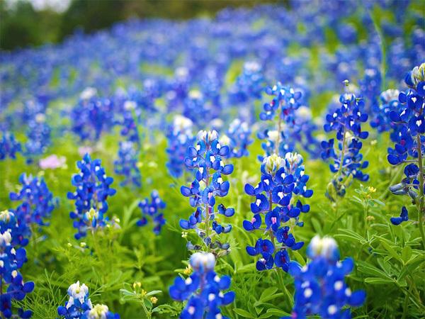 Đến hạt Hill ở bang Texas (Mỹ) vào cuối tháng 4, bạn sẽ bị choáng ngợp trước những cung đường trải đầy hoa mũ len xanh đẹp ngây ngất. Những khu vực xung quanh Fredericksburg hay Austin, San Antonio, Lampasas và Junction cũng có thể tìm thấy loài hoa này. Cứ mỗi năm, Bộ Giao thông vận tải bang Texas lại gieo hơn 13 tấn hạt giống hoa để tạo nên những cung đường đầy đáng yêu và lãng mạn nơi đây. Ảnh: atmtxphoto