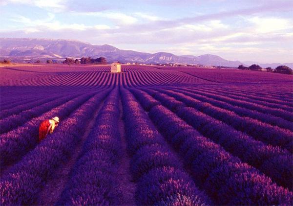 Những cánh đồng hoa oải hương tím ngắt chạy tít tắp đến tận chân trời đã trở thành biểu tượng khi nói đến vùng Provence nước Pháp, tạo cho nơi đây một vẻ đẹp mê hoặc như một bức tranh quê yên bình. Còn gì tuyệt vời hơn khi đến Provence vào mùa hè, khi những bông hoa oải hương nở rộ, hít hà hương thơm quyến rũ và mang về những túi thơm xinh xắn đựng trong nhà. Ảnh: travelization
