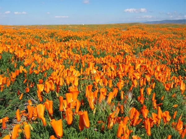 Vùng đất cằn cỗi ở hoang mạc Mojave, California (Mỹ) cứ mỗi độ xuân về lại tràn đầy sức sống với những cánh đồng hoa anh túc phủ đầy hai màu cam và đỏ. Nếu có thể, bạn hãy đến đây vào dịp cuối tháng 4 để sống trong lễ hội hoa anh túc ở California diễn ra thường niên. Ảnh: blog.savesfbay.org