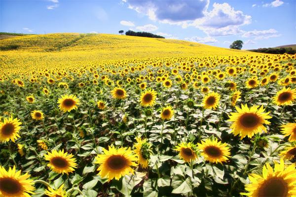 Không một loài hoa nào đặc trưng cho mùa hè hơn hoa hướng dương và một trong những nơi lý tưởng nhất để bạn thả mình trong những cánh đồng hoa vàng ấy chính là vùng Tuscany của Italy. Đến đây vào dịp giữa tháng 7, chắc chắn bạn sẽ được tận hưởng hết cái đẹp của cánh đồng hoa này. Ảnh: thewanderlife