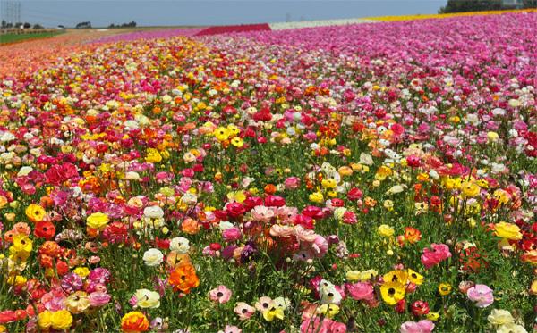 Tới thăm và dạo chơi cánh đồng hoa Carlsbad vào mỗi dịp xuân hè đã trở thành nét truyền thống của người dân San Diego, bang California (Mỹ). Toàn bộ diện tích vùng đồi chạy dọc bờ biển Carlsbad bao phủ bởi sắc màu rực rỡ và nổi bật của những cánh hoa mao lương. Thong dong trên những con đường mòn dọc cánh đồng hoa và ngắm nhìn sức sống căng tràn tỏa ra xung quanh khiến bạn có cảm giác như đang lạc chân tới chốn thần tiên nào đó. Ảnh: ksimagegallery.wordpress.com
