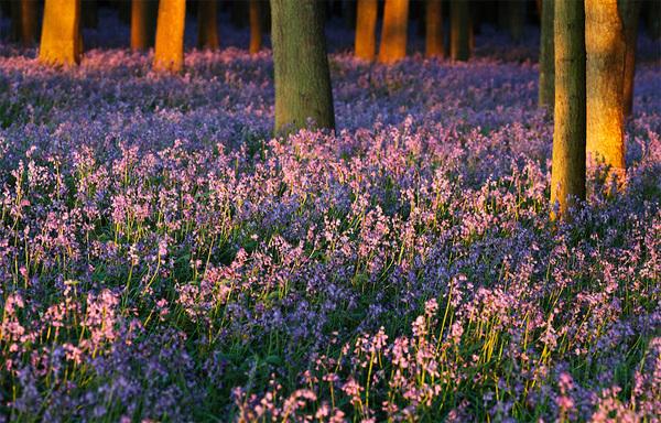 Hoa chuông nở đẹp nhất vào dịp cuối tháng 4, đầu tháng 5 và có thể nhìn thấy ở bất kỳ nơi nào ở châu Âu. Song đẹp và ấn tượng nhất phải kể đến những khu rừng của nước Anh. Sắc tím xanh mê hoặc cùng mùi thơm đặc trưng, loài hoa này được xếp vào danh sách những loài hoa đẹp nhất thế giới. Ảnh: itchyfeetphotography.photoshelter.com