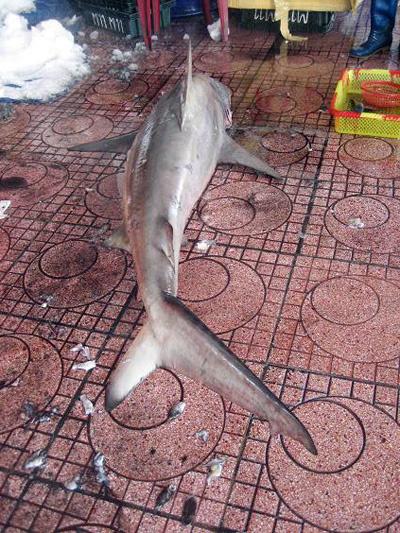 Đã có rất nhiều vụ cá mập tấn công du khách tắm biển tại Bình Định xảy ra.