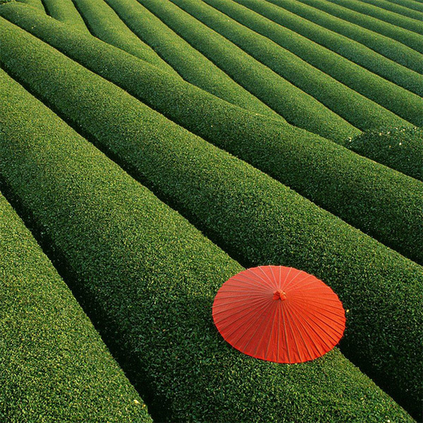 Cánh đồng chè xanh mướt ở Trung Quốc.