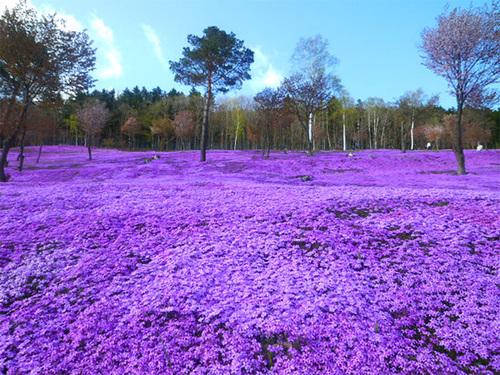 Nhật Bản không chỉ nổi tiếng với sắc hoa anh đào mà một loài hoa nữa có tên là Shibazakura. Cứ vào mùa xuân, sắc màu rực rỡ của loài hoa này như phù phép cho khung cảnh thiên nhiên xứ sở phù tang một sức hút khó cưỡng. Ảnh: kimi-tourguide.blogspot.com