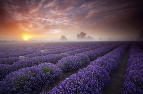 Những cánh đồng hoa oải hương chạy tít tắp đến tận chân trời ở Anh. Ảnh: Antony Spencer