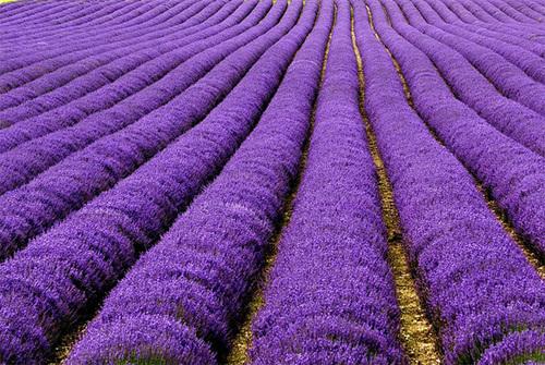 """Ở Pháp, sắc tím ngắt và hương thơm quyến rũ của hoa oải hương cũng là một """"đặc sản"""". Ảnh: Erasmus T"""
