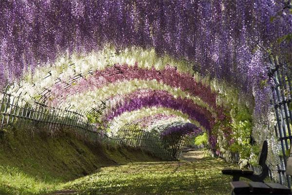 Đường hầm hoa Tử Đằng nằm tại thành phố Kitakyushu với gần 150 cây Tử Đằng và hơn 20 loài khác nhau. Người dân Nhật Bản coi đây là loài hoa đại diện cho tình yêu vĩnh cửu. Ảnh: imgur.com